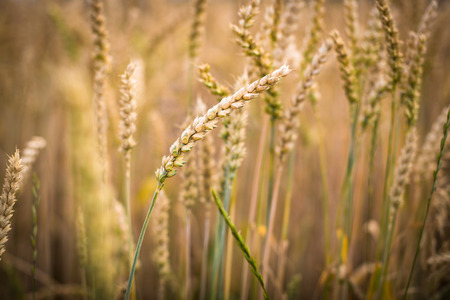 Ripe barley (lat. Hordeum) photo