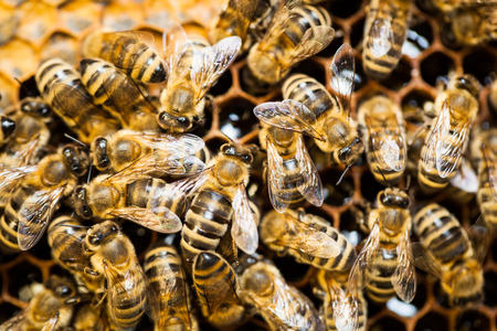 bee swarm: Macro shot of bees swarming on a honeycomb Stock Photo