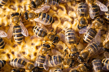 apiarist: Macro shot of bees swarming on a honeycomb Stock Photo