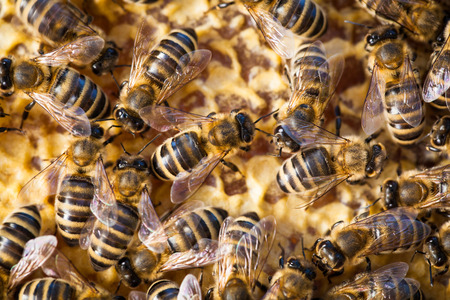 collectives: Macro shot of bees swarming on a honeycomb Stock Photo