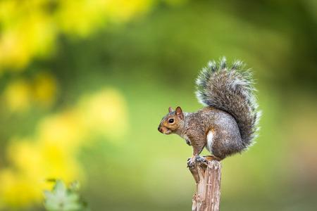 Oost-Grey Squirrel (Sciurus carolinensis) Stockfoto