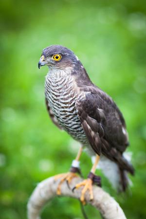 sparrowhawk: Eurasian sparrowhawk Stock Photo