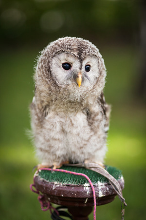 tawny owl: Close up of a baby Tawny Owl (Strix aluco)