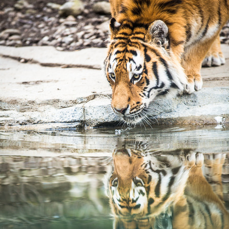 Indian Tiger Drinking Water photo