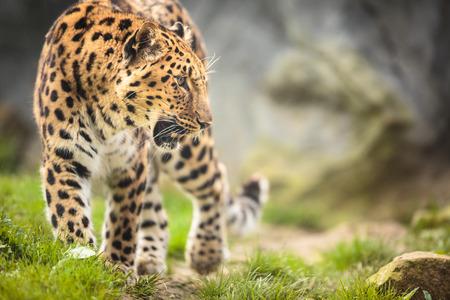 leopard head: Amur Leopard (Panthera pardus orientalis)