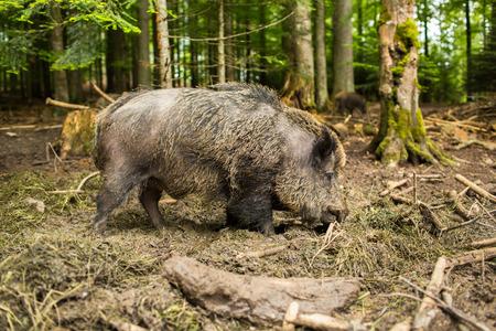 mud and snow: Wild boar (Sus scrofa)