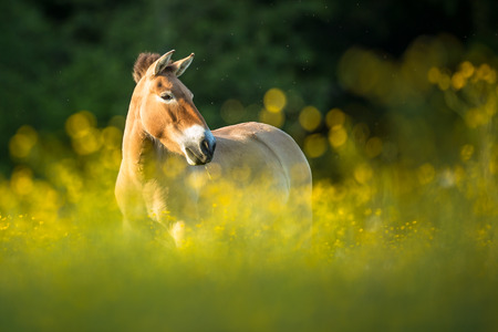 conservation grazing: Przewalski horse grazing on a lovely meadow