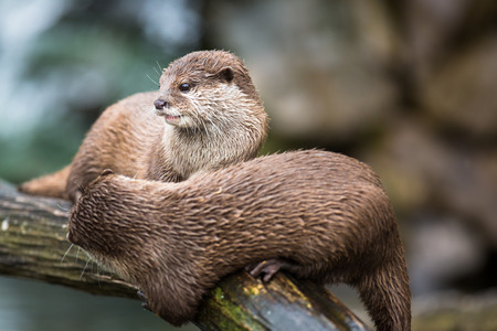 otter: An oriental small-clawed otter  Aonyx cinerea  Asian small-clawed otter