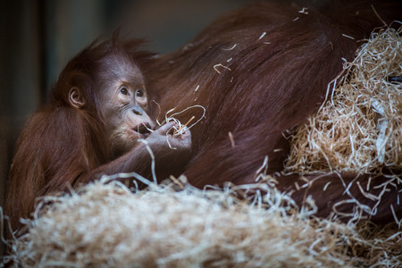 orang: Stare of an orangutan baby, hanging on thick rope. A little great ape is going to be an alpha male. Human like monkey cub in shaggy red fur.