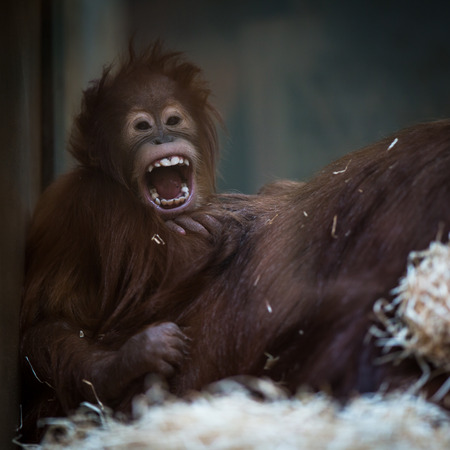 human like: Stare of an orangutan baby, hanging on thick rope. A little great ape is going to be an alpha male. Human like monkey cub in shaggy red fur.