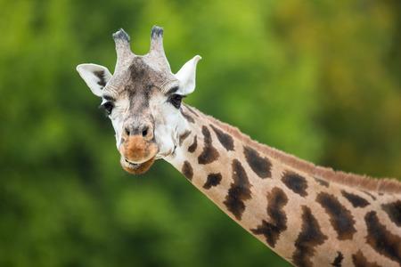 giraffa camelopardalis: Giraffe (Giraffa camelopardalis) Stock Photo
