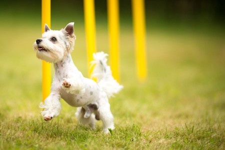 agility dog: Cute little dog doing agility drill - running slalom, being obediend and making his master proud and happy