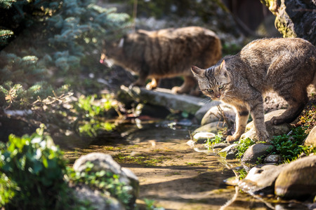 natural habitat: Wildcats (Felis silvestris) in their natural habitat