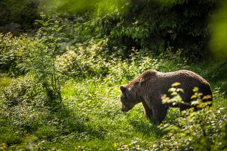 arctos: Orso bruno (Ursus arctos)