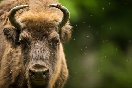 zoo: European bison (Bison bonasus) Stock Photo