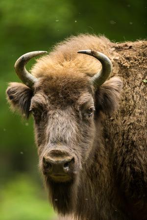 water buffalo: European bison (Bison bonasus) Stock Photo