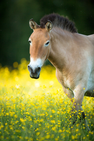 rare animals: Przewalski horse grazing on a lovely meadow