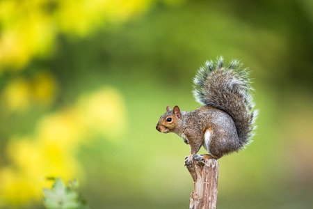 Eastern Grey Squirrel (Sciurus carolinensis) Stockfoto