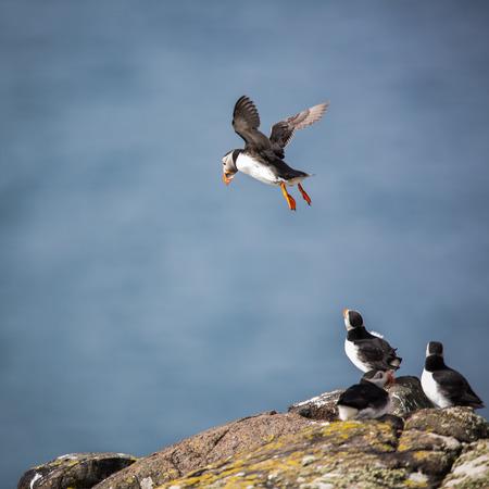 puffins: Puffins (Fratercula arctica), Isle of May, Scotland
