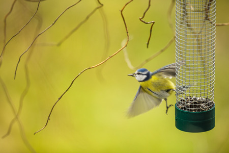 caeruleus: Tiny Blue tit flying away from a feeder in a garden after grasping a sunflower seed with its beak, hungry during winter (lat. Parus caeruleus)