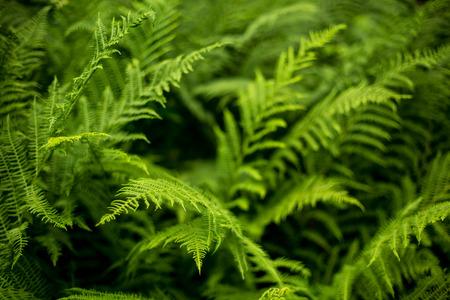 buisson: Fougère