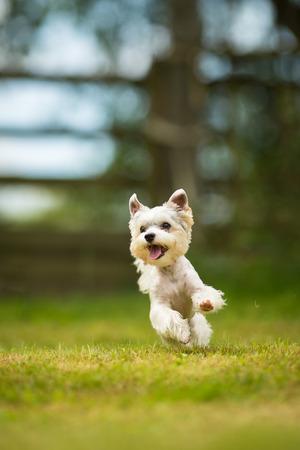 Schattige hondje doet behendigheid boor - running slalom, zijnde obediend en het maken van zijn meester trots en blij