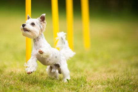 obedecer: Lindo perrito haciendo taladro agilidad - corriendo slalom, siendo obediend y haciendo su amo orgulloso y feliz
