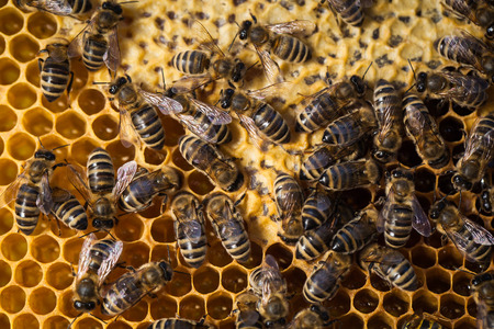 worker bees: Macro shot of bees swarming on a honeycomb Stock Photo
