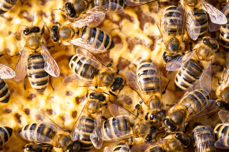 bee pollen: Macro shot of bees swarming on a honeycomb Stock Photo