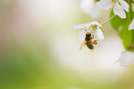 Honey bee enjoying blossoming cherry tree on a lovely spring day