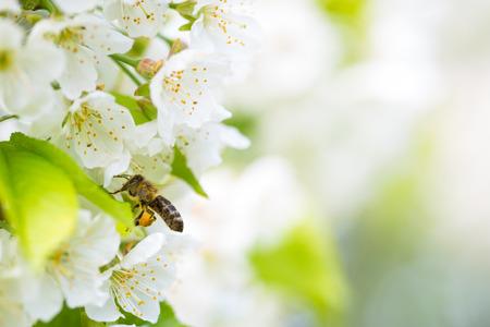 queen bee: Miel de abeja se acerca en vuelo cerezo floreciente