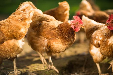 farmyard: Hen in a farmyard (Gallus gallus domesticus)