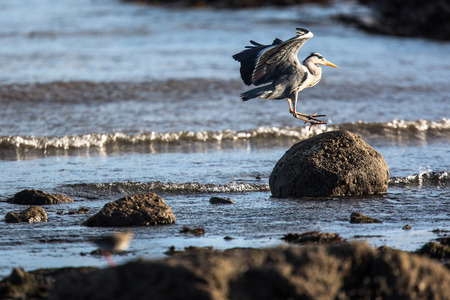 coutryside: Western Reef Heron (Egretta gularis), image taken in Anstruther, Scotland