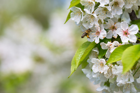 joint effort: Honey bee in flight approaching blossoming cherry tree