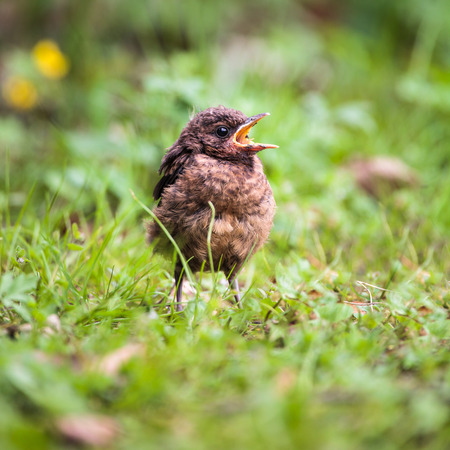 blackbird: Closeup of a baby Common Blackbird (Turdus merula)