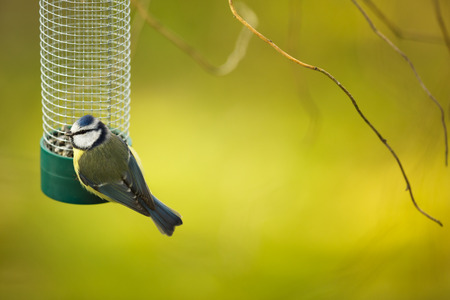 caeruleus: Tiny Blue tit on a feeder in a garden, hungry during winter (lat. Parus caeruleus)