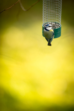 parus: Tiny Blue tit on a feeder in a garden, hungry during winter (lat. Parus caeruleus)