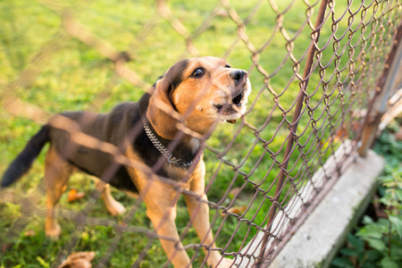 guard house: Cute guard dog behind fence, barking, checking you out