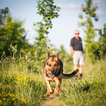 alsatian shepherd: Beautiful German Shepherd Dog (Alsatian) outdoors Stock Photo