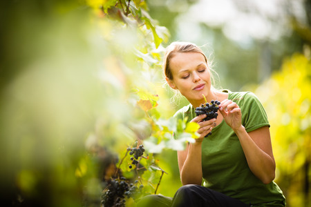 wine grower: Woman picking grape during wine harvest