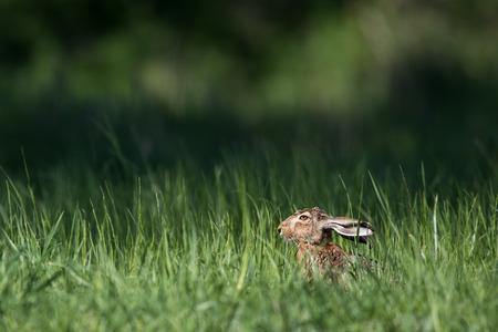 herbivore natural: Brown hare (Lepus europaeus)