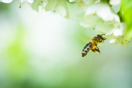 Honingbij tijdens de vlucht naderen bloeiende kersenboom Stockfoto