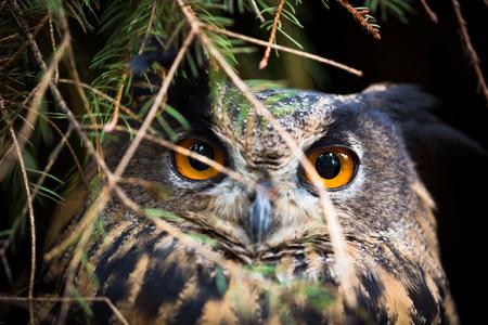 pecker: Eagle Owl, Bubo bubo