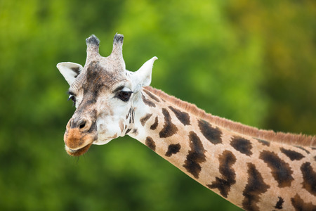 kruger national park: Giraffe (Giraffa camelopardalis) Stock Photo