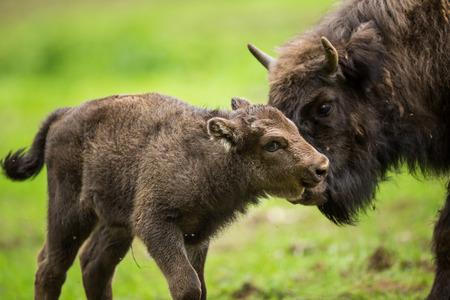 European bison (Bison bonasus) Archivio Fotografico