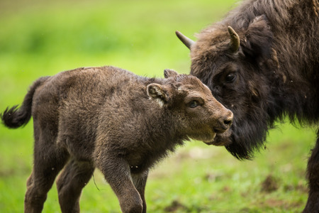European bison (Bison bonasus) Stock Photo
