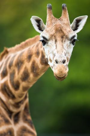 giraffa: Giraffe (Giraffa camelopardalis) Stock Photo