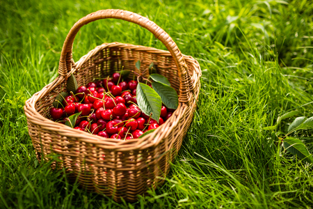 baskets: Freshly picked cherries in a basket in the garden Stock Photo