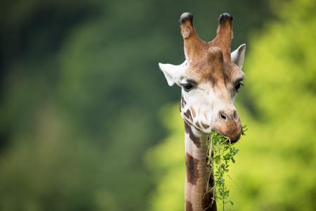 giraffa: Giraffe (Giraffa camelopardalis) on green background