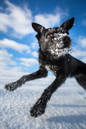 cute puppy: Hilarious black dog jumping for joy over a snowy field on a lovely winter day